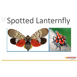 Recorded Spotted Lantern Fly