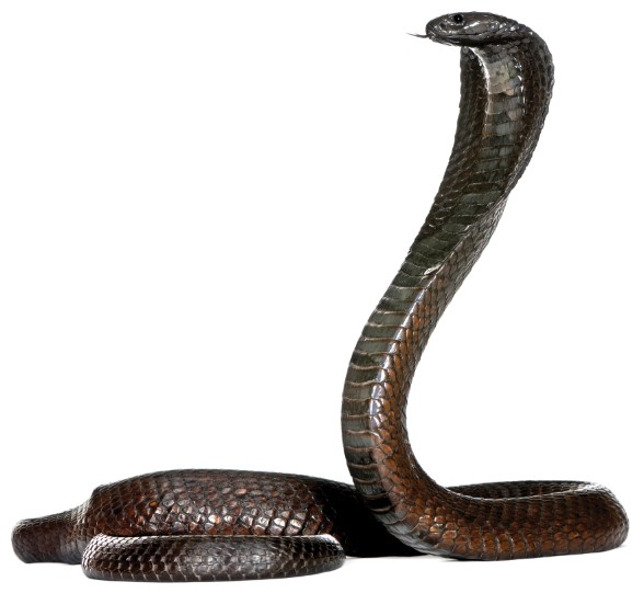 A cobra coiled with its head up